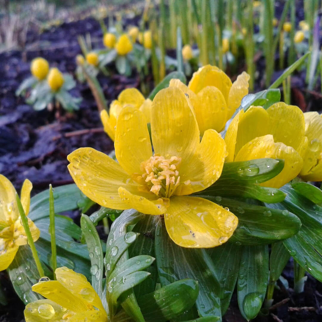 Winter-Aconite---Eranthis-hyemalis-Barnsley-House
